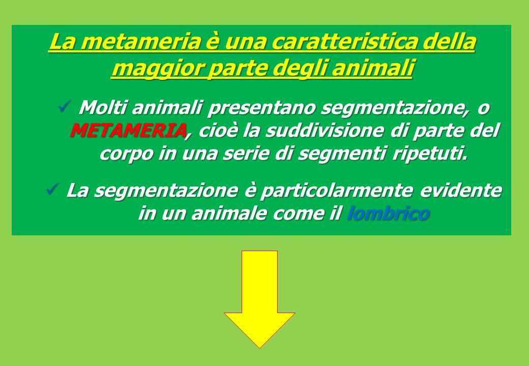 La metameria è una caratteristica della maggior parte degli animali Molti animali presentano segmentazione, o METAMERIA, cioè la suddivisione di parte del corpo in una serie di segmenti ripetuti.