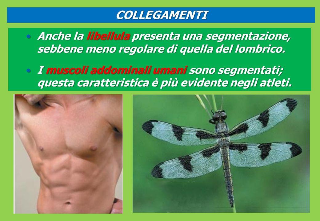 Anche la libellula presenta una segmentazione, sebbene meno regolare di quella del lombrico.Anche la libellula presenta una segmentazione, sebbene meno regolare di quella del lombrico.
