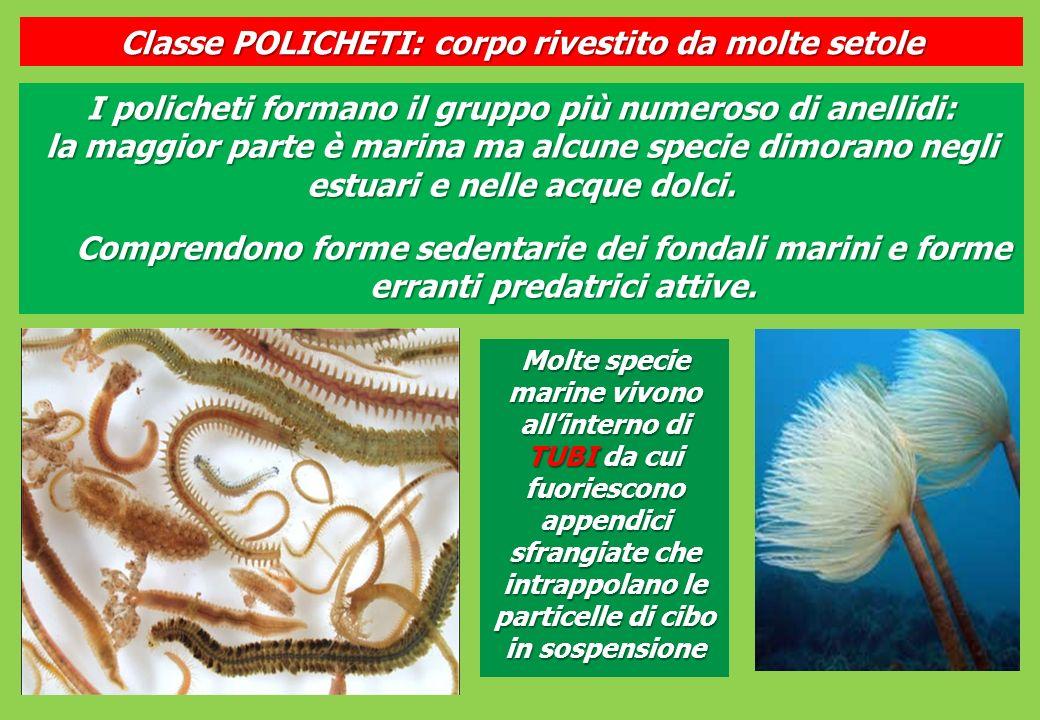 I policheti formano il gruppo più numeroso di anellidi: la maggior parte è marina ma alcune specie dimorano negli estuari e nelle acque dolci.