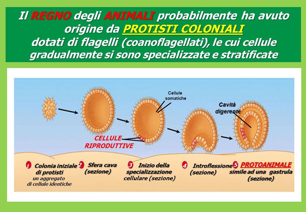 CELLULE RIPRODUTTIVE Cellule somatiche Cavità digerente digerente Colonia iniziale 1 Colonia iniziale di protisti un aggregato di cellule identiche 2 Sfera cava (sezione) 3 Inizio della specializzazione cellulare (sezione) 4 Introflessione 4 Introflessione(sezione) 5 PROTOANIMALE 5 PROTOANIMALE simile ad una gastrula (sezione) Il REGNO degli ANIMALI probabilmente ha avuto origine da PROTISTI COLONIALI dotati di flagelli (coanoflagellati), le cui cellule gradualmente si sono specializzate e stratificate