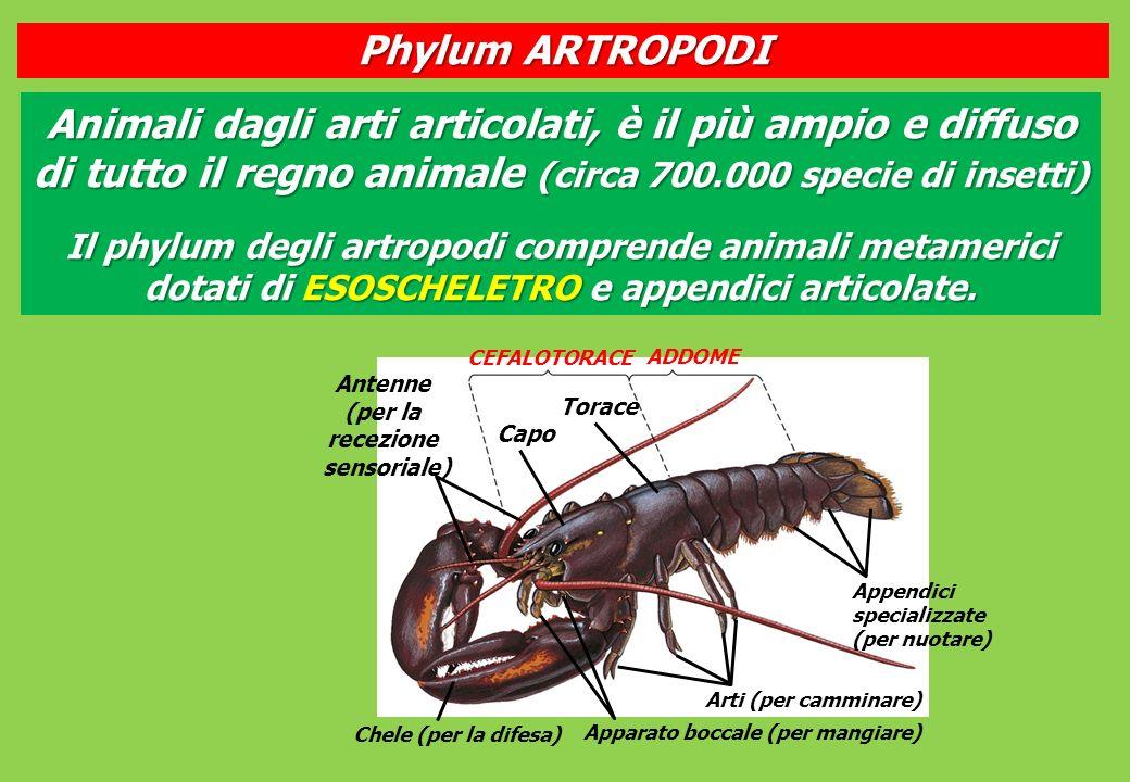 Antenne (per la recezione sensoriale) Capo Torace CEFALOTORACE ADDOME Appendici specializzate (per nuotare) Arti (per camminare) Apparato boccale (per mangiare) Chele (per la difesa) Animali dagli arti articolati, è il più ampio e diffuso di tutto il regno animale (circa 700.000 specie di insetti) Il phylum degli artropodi comprende animali metamerici dotati di ESOSCHELETRO e appendici articolate.