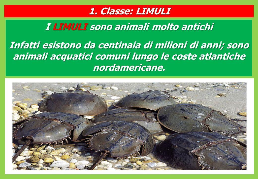 I LIMULI sono animali molto antichi Infatti esistono da centinaia di milioni di anni; sono animali acquatici comuni lungo le coste atlantiche nordamericane.