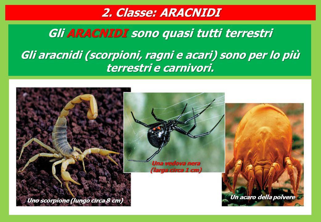 Gli ARACNIDI sono quasi tutti terrestri Gli aracnidi (scorpioni, ragni e acari) sono per lo più terrestri e carnivori.