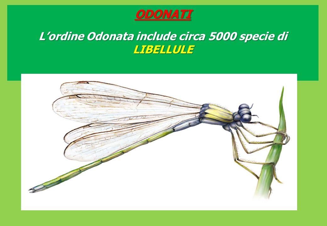 ODONATI Lordine Odonata include circa 5000 specie di LIBELLULE