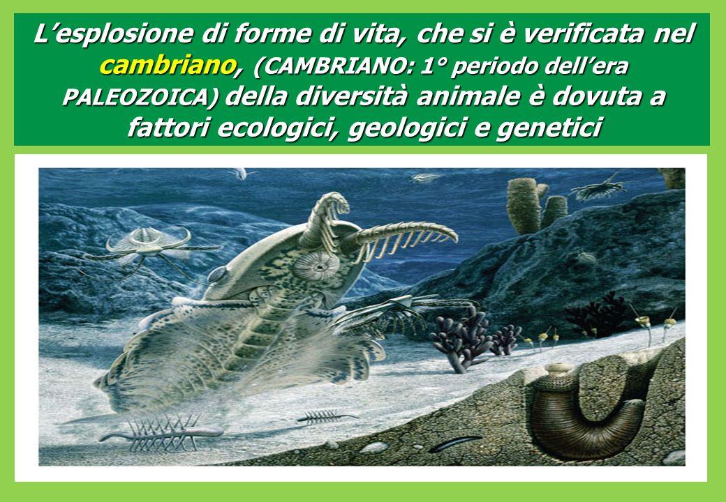 Lesplosione di forme di vita, che si è verificata nel cambriano, (CAMBRIANO: 1° periodo dellera PALEOZOICA) della diversità animale è dovuta a fattori ecologici, geologici e genetici