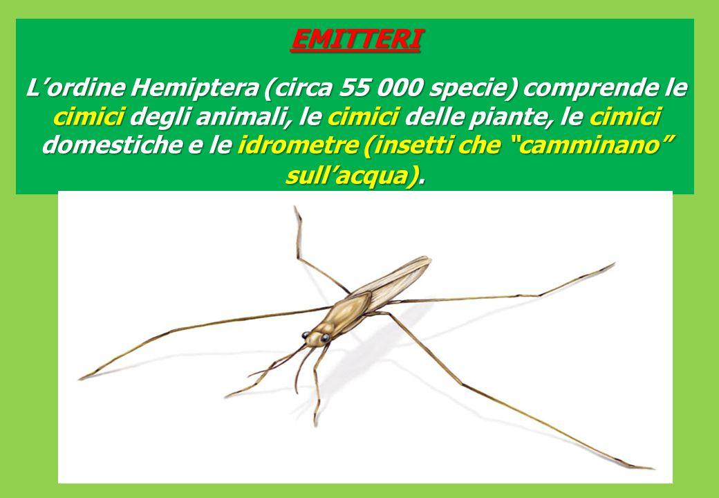 EMITTERI Lordine Hemiptera (circa 55 000 specie) comprende le cimici degli animali, le cimici delle piante, le cimici domestiche e le idrometre (insetti che camminano sullacqua).
