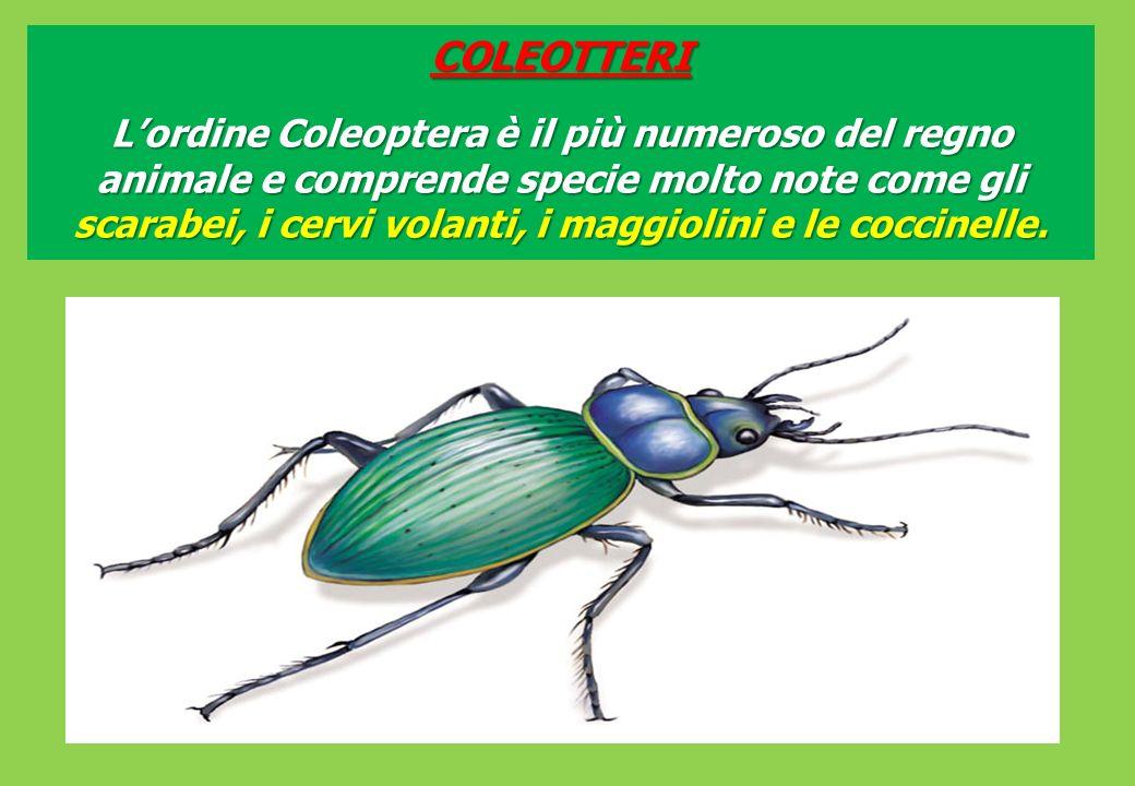 COLEOTTERI Lordine Coleoptera è il più numeroso del regno animale e comprende specie molto note come gli scarabei, i cervi volanti, i maggiolini e le coccinelle.