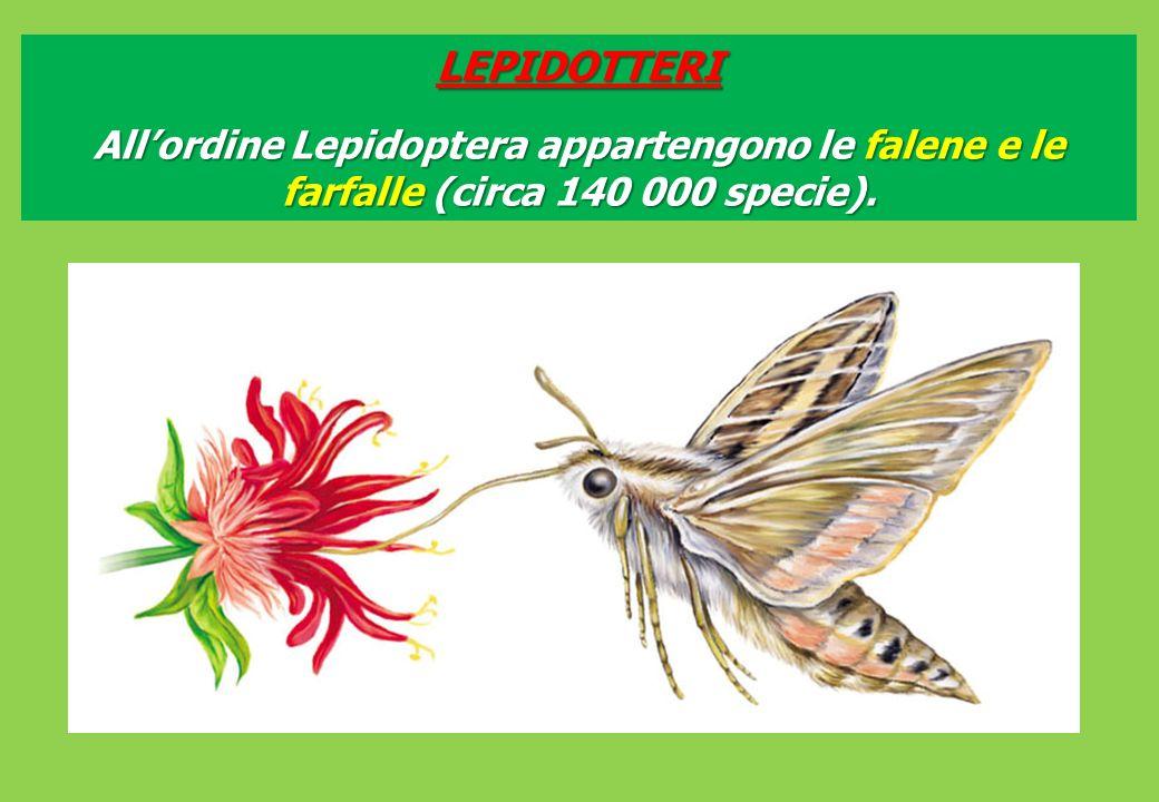 LEPIDOTTERI Allordine Lepidoptera appartengono le falene e le farfalle (circa 140 000 specie).