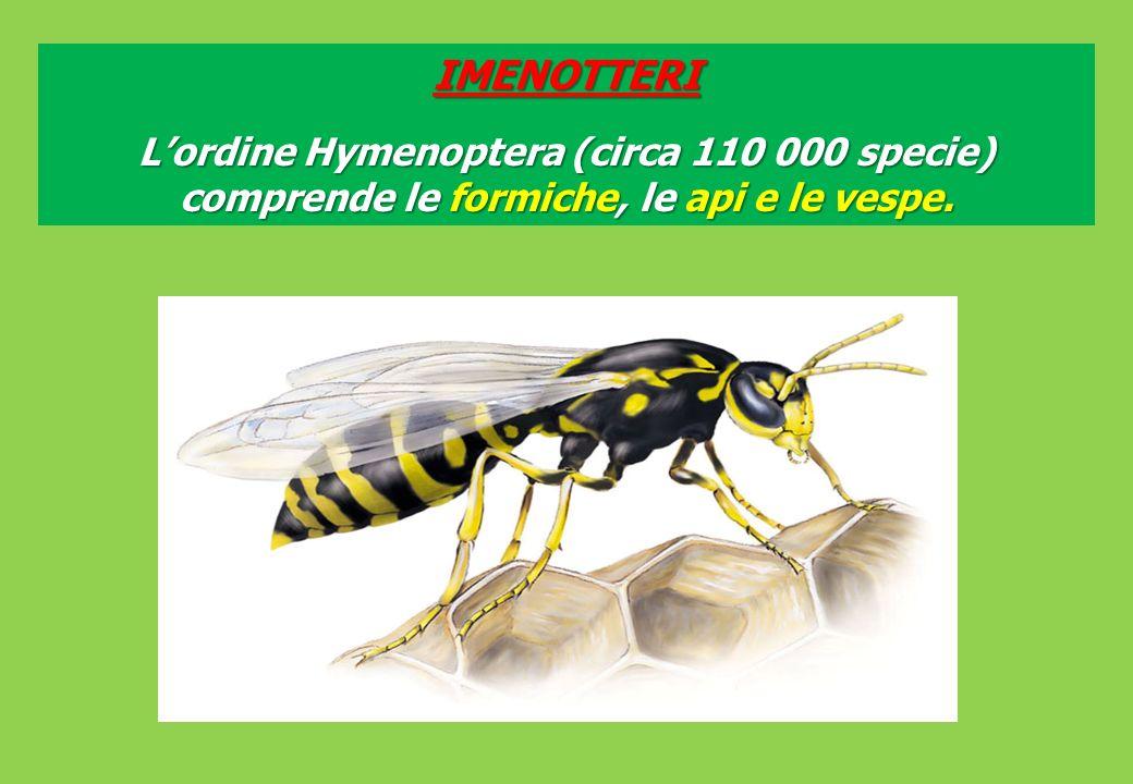 IMENOTTERI Lordine Hymenoptera (circa 110 000 specie) comprende le formiche, le api e le vespe.