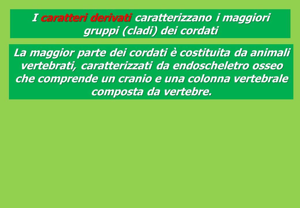 I caratteri derivati caratterizzano i maggiori gruppi (cladi) dei cordati La maggior parte dei cordati è costituita da animali vertebrati, caratterizzati da endoscheletro osseo che comprende un cranio e una colonna vertebrale composta da vertebre.
