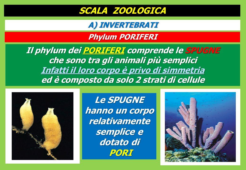 Il phylum dei PORIFERI comprende le SPUGNE che sono tra gli animali più semplici Infatti il loro corpo è privo di simmetria ed è composto da solo 2 strati di cellule SCALA ZOOLOGICA A) INVERTEBRATI Phylum PORIFERI Le SPUGNE hanno un corpo relativamente semplice e dotato di PORI PORI