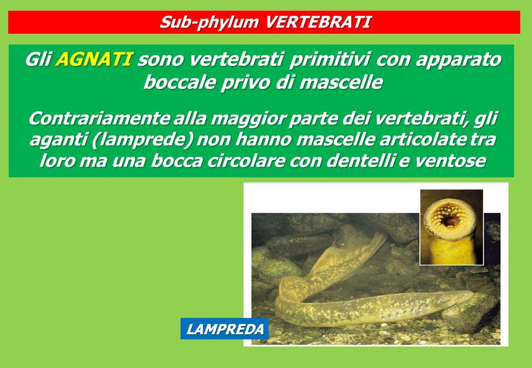 LAMPREDA Gli AGNATI sono vertebrati primitivi con apparato boccale privo di mascelle Contrariamente alla maggior parte dei vertebrati, gli aganti (lamprede) non hanno mascelle articolate tra loro ma una bocca circolare con dentelli e ventose Sub-phylum VERTEBRATI