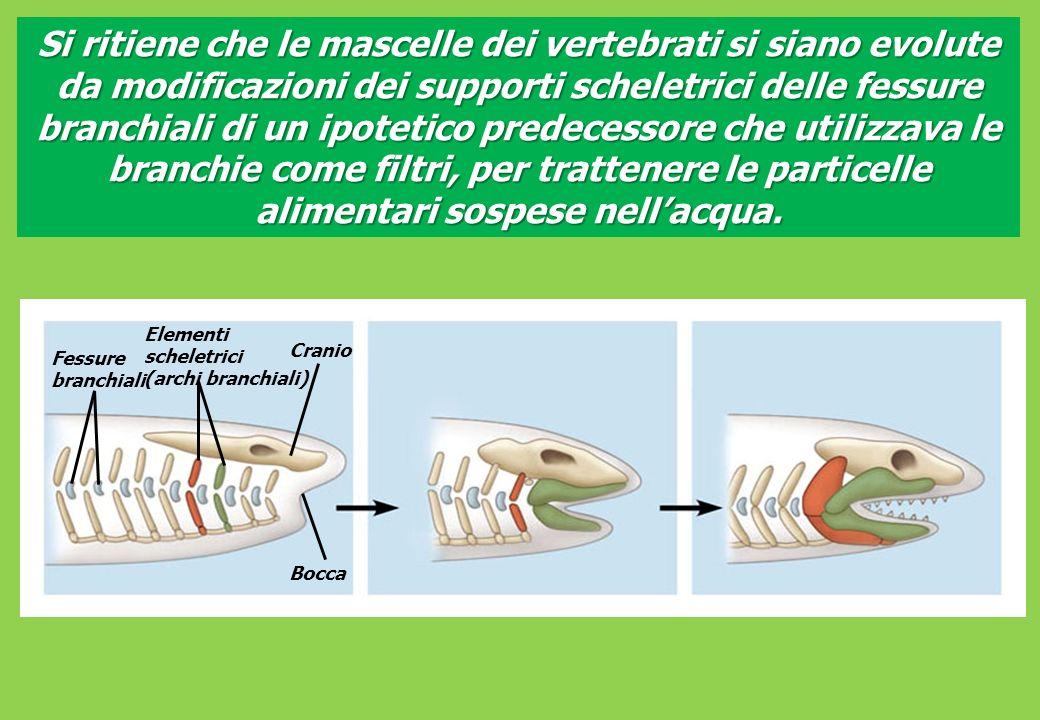 Fessure branchiali Elementi scheletrici (archi branchiali) Cranio Bocca Si ritiene che le mascelle dei vertebrati si siano evolute da modificazioni dei supporti scheletrici delle fessure branchiali di un ipotetico predecessore che utilizzava le branchie come filtri, per trattenere le particelle alimentari sospese nellacqua.