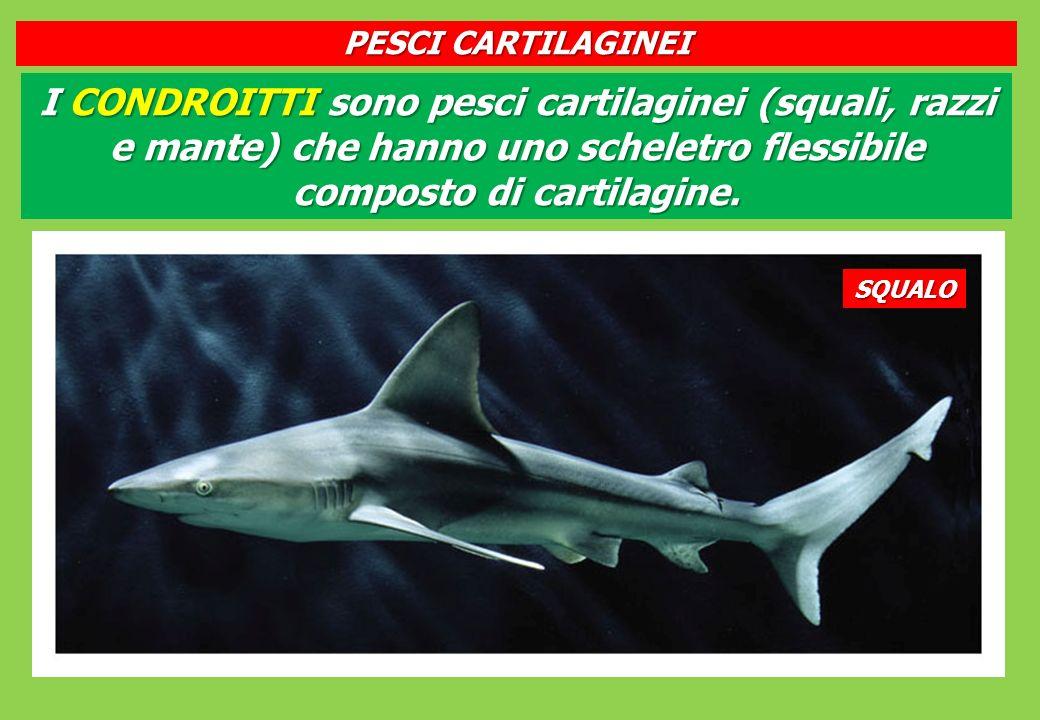 I CONDROITTI sono pesci cartilaginei (squali, razzi e mante) che hanno uno scheletro flessibile composto di cartilagine.
