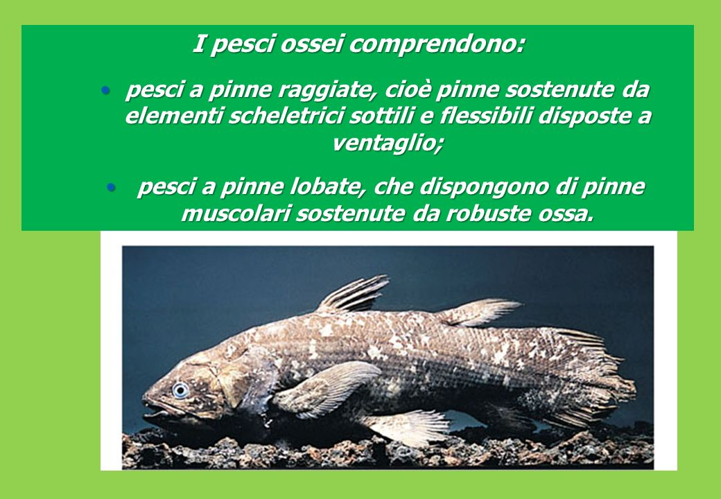 I pesci ossei comprendono: pesci a pinne raggiate, cioè pinne sostenute da elementi scheletrici sottili e flessibili disposte a ventaglio;pesci a pinne raggiate, cioè pinne sostenute da elementi scheletrici sottili e flessibili disposte a ventaglio; pesci a pinne lobate, che dispongono di pinne muscolari sostenute da robuste ossa.