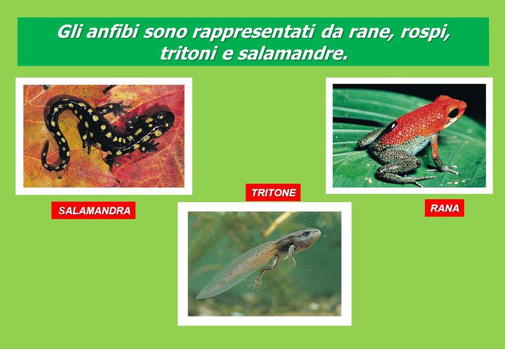 SALAMANDRA Gli anfibi sono rappresentati da rane, rospi, tritoni e salamandre. TRITONE RANA