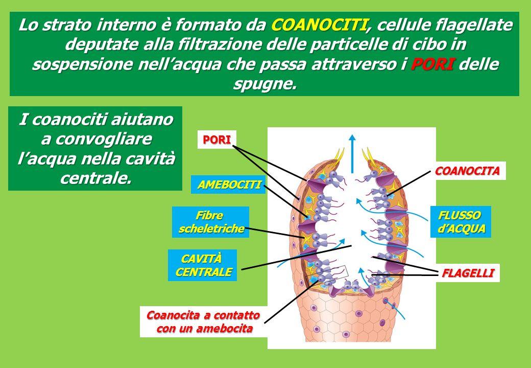 Gli CNIDARI sono animali a SIMMETRIA RADIALE muniti di filamenti urticanti Gli cnidari sono i più semplici animali dotati di tessuti Una delle caratteristiche principali del phylum, cui appartengono le idre, le meduse, gli anemoni di mare e i coralli, è la simmetria radiale Phylum CNIDARI (ex CELENTERATI)