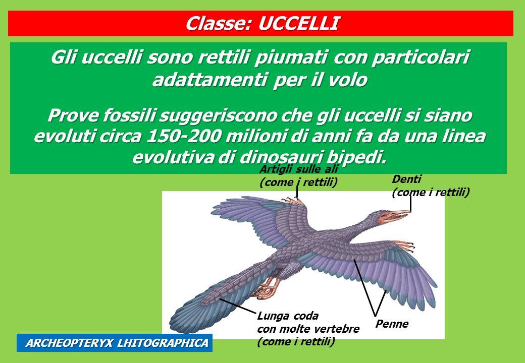 Gli uccelli sono rettili piumati con particolari adattamenti per il volo Prove fossili suggeriscono che gli uccelli si siano evoluti circa 150-200 milioni di anni fa da una linea evolutiva di dinosauri bipedi.