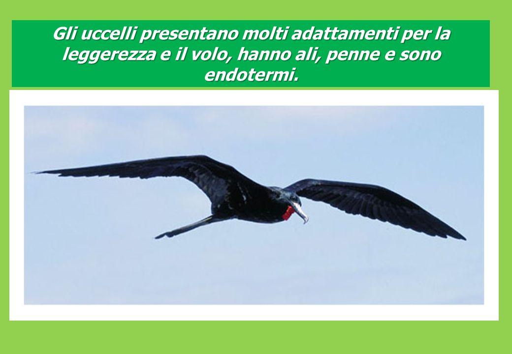 Gli uccelli presentano molti adattamenti per la leggerezza e il volo, hanno ali, penne e sono endotermi.