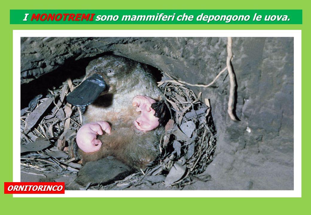 ORNITORINCO I MONOTREMI sono mammiferi che depongono le uova.
