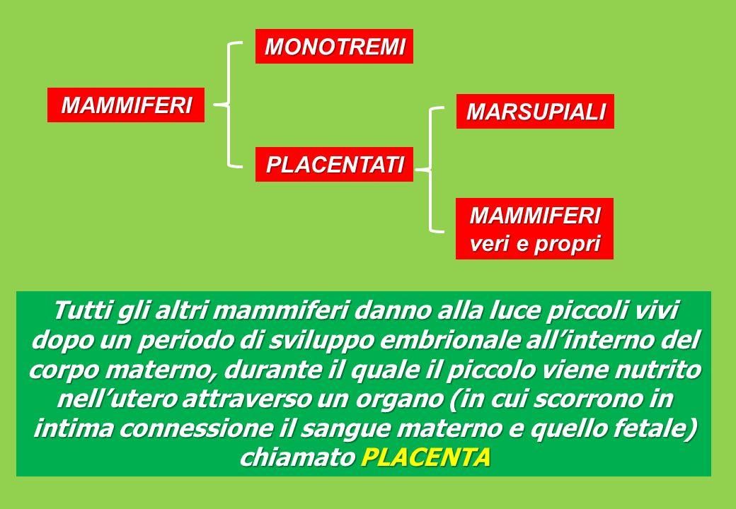 Tutti gli altri mammiferi danno alla luce piccoli vivi dopo un periodo di sviluppo embrionale allinterno del corpo materno, durante il quale il piccolo viene nutrito nellutero attraverso un organo (in cui scorrono in intima connessione il sangue materno e quello fetale) chiamato PLACENTA MAMMIFERI MONOTREMI PLACENTATI MARSUPIALI MAMMIFERI veri e propri