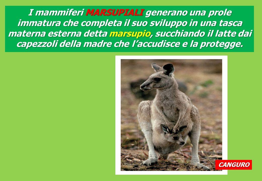 CANGURO I mammiferi MARSUPIALI generano una prole immatura che completa il suo sviluppo in una tasca materna esterna detta marsupio, succhiando il latte dai capezzoli della madre che laccudisce e la protegge.