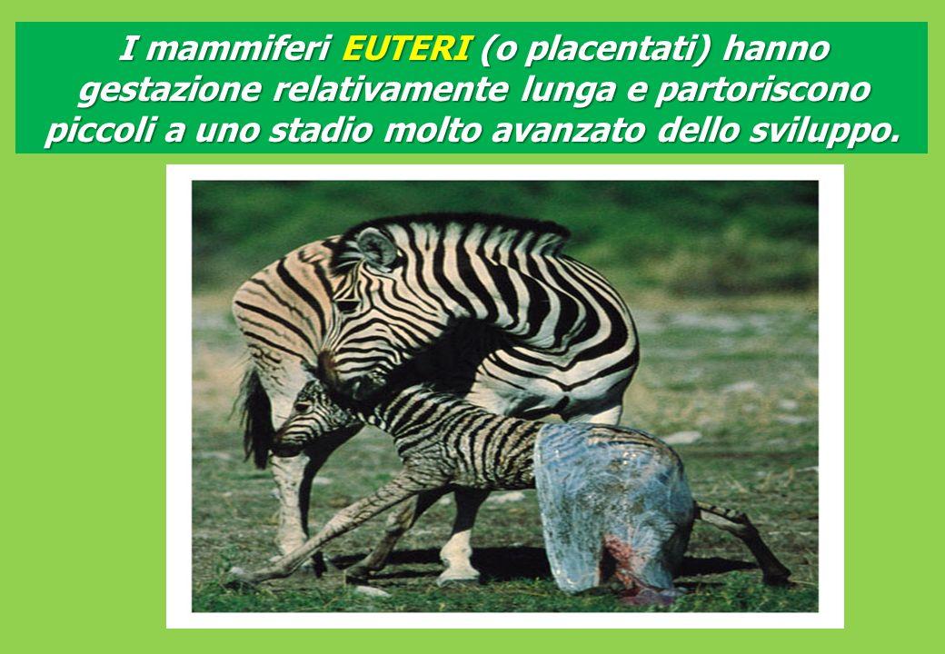 I mammiferi EUTERI (o placentati) hanno gestazione relativamente lunga e partoriscono piccoli a uno stadio molto avanzato dello sviluppo.