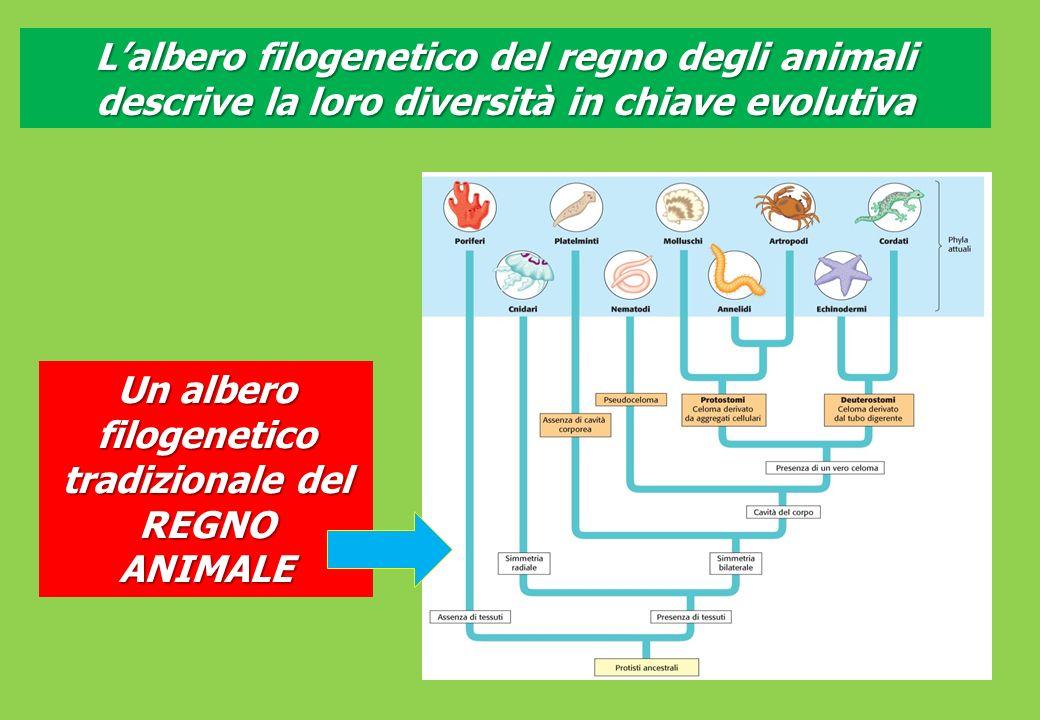 Lalbero filogenetico del regno degli animali descrive la loro diversità in chiave evolutiva Un albero filogenetico tradizionale del REGNO ANIMALE