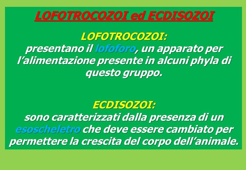 LOFOTROCOZOI ed ECDISOZOI LOFOTROCOZOI: presentano il lofoforo, un apparato per lalimentazione presente in alcuni phyla di questo gruppo.
