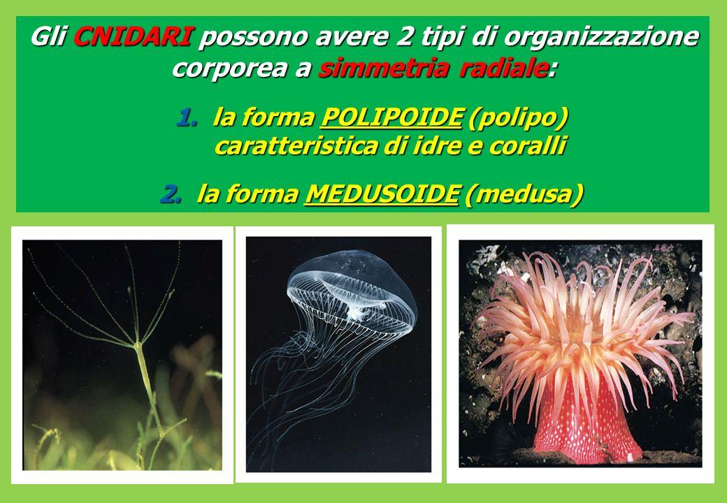 Gli CNIDARI possono avere 2 tipi di organizzazione corporea a simmetria radiale: 1.la forma POLIPOIDE (polipo) caratteristica di idre e coralli 2.la forma MEDUSOIDE (medusa)