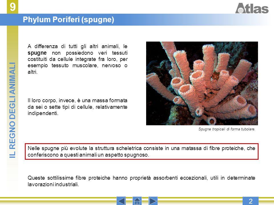 9 2 A differenza di tutti gli altri animali, le spugne non possiedono veri tessuti costituiti da cellule integrate fra loro, per esempio tessuto musco