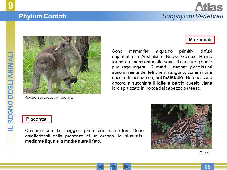 9 26 Marsupiali Sono mammiferi alquanto primitivi diffusi soprattutto in Australia e Nuova Guinea. Hanno forme e dimensioni molto varie. Il canguro gi