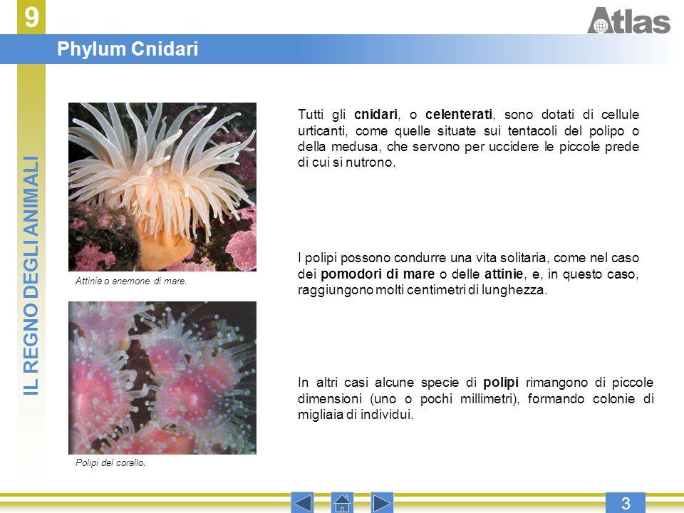 9 3 Tutti gli cnidari, o celenterati, sono dotati di cellule urticanti, come quelle situate sui tentacoli del polipo o della medusa, che servono per u