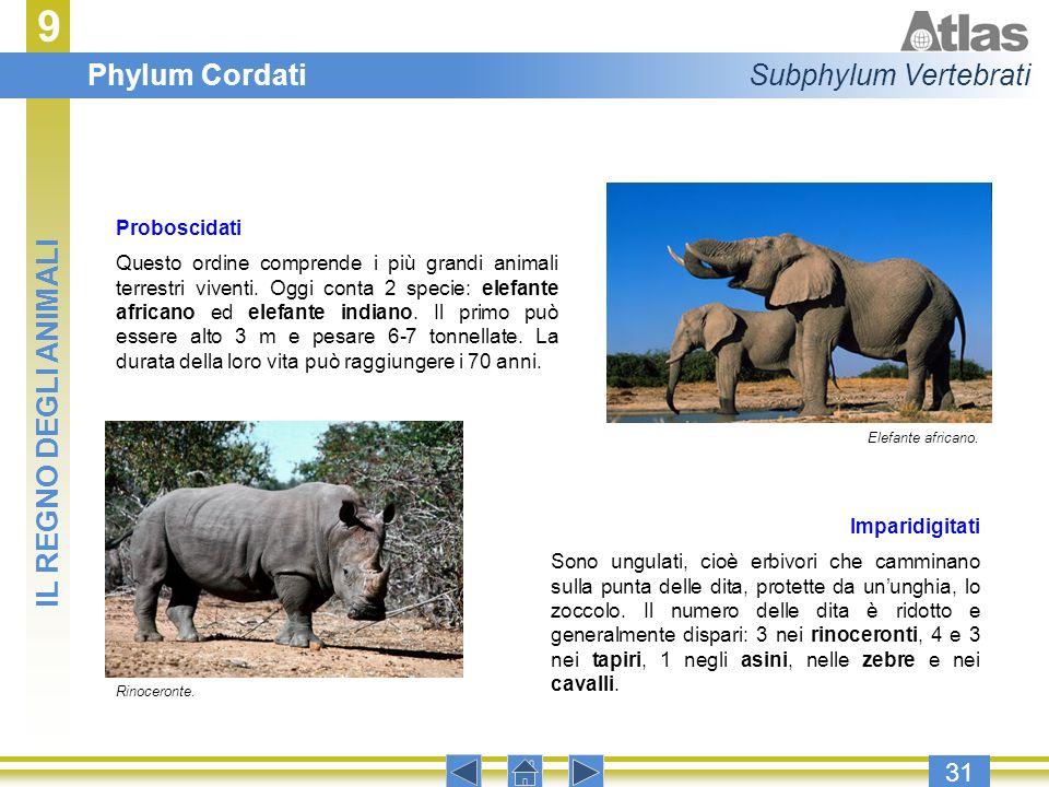 9 31 Proboscidati Questo ordine comprende i più grandi animali terrestri viventi. Oggi conta 2 specie: elefante africano ed elefante indiano. Il primo