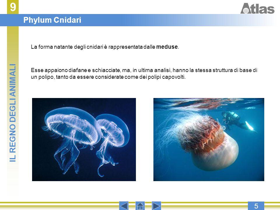 9 5 La forma natante degli cnidari è rappresentata dalle meduse. Esse appaiono diafane e schiacciate, ma, in ultima analisi, hanno la stessa struttura