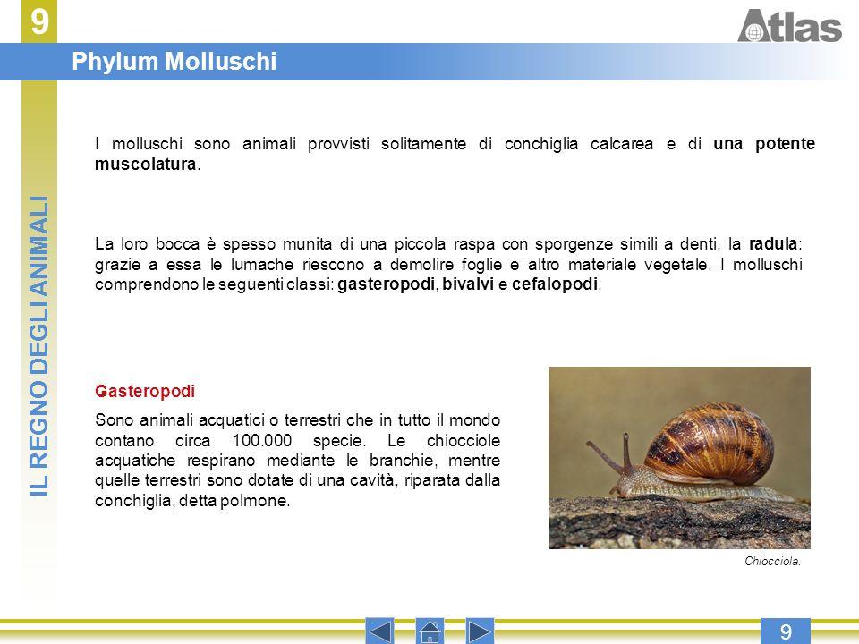 9 9 I molluschi sono animali provvisti solitamente di conchiglia calcarea e di una potente muscolatura. La loro bocca è spesso munita di una piccola r