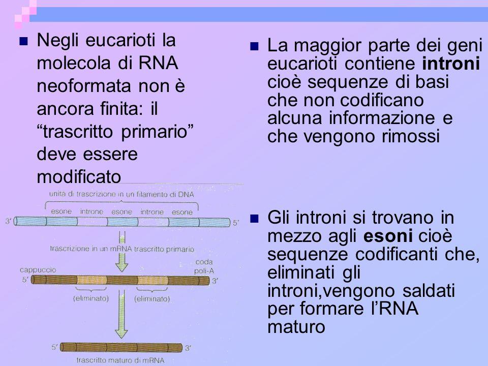 Negli eucarioti la molecola di RNA neoformata non è ancora finita: il trascritto primario deve essere modificato La maggior parte dei geni eucarioti c