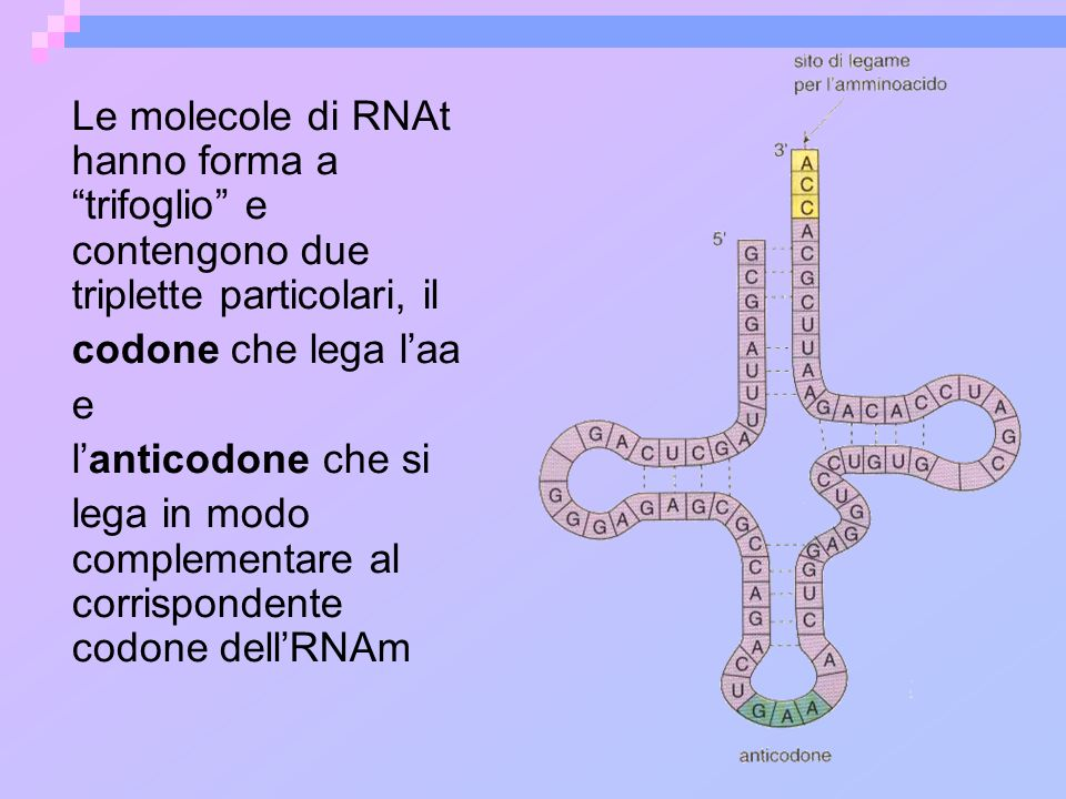 Le molecole di RNAt hanno forma a trifoglio e contengono due triplette particolari, il codone che lega laa e lanticodone che si lega in modo complemen