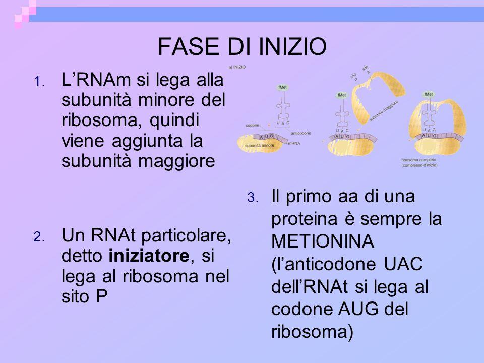 FASE DI INIZIO 1. LRNAm si lega alla subunità minore del ribosoma, quindi viene aggiunta la subunità maggiore 2. Un RNAt particolare, detto iniziatore