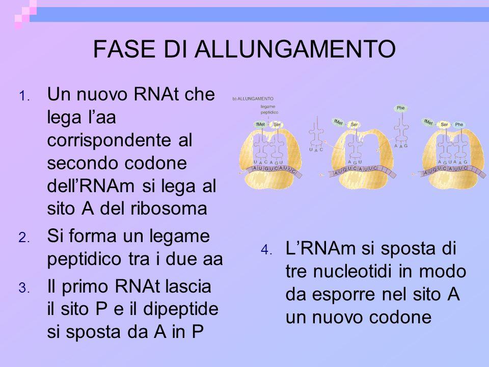 FASE DI ALLUNGAMENTO 1. Un nuovo RNAt che lega laa corrispondente al secondo codone dellRNAm si lega al sito A del ribosoma 2. Si forma un legame pept