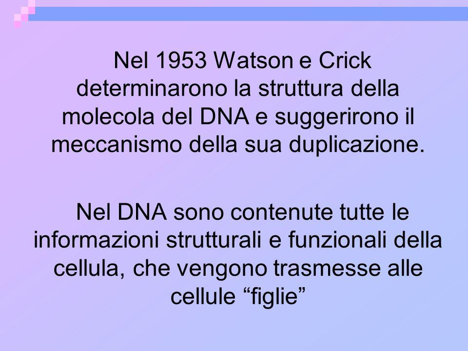 Nel 1953 Watson e Crick determinarono la struttura della molecola del DNA e suggerirono il meccanismo della sua duplicazione. Nel DNA sono contenute t