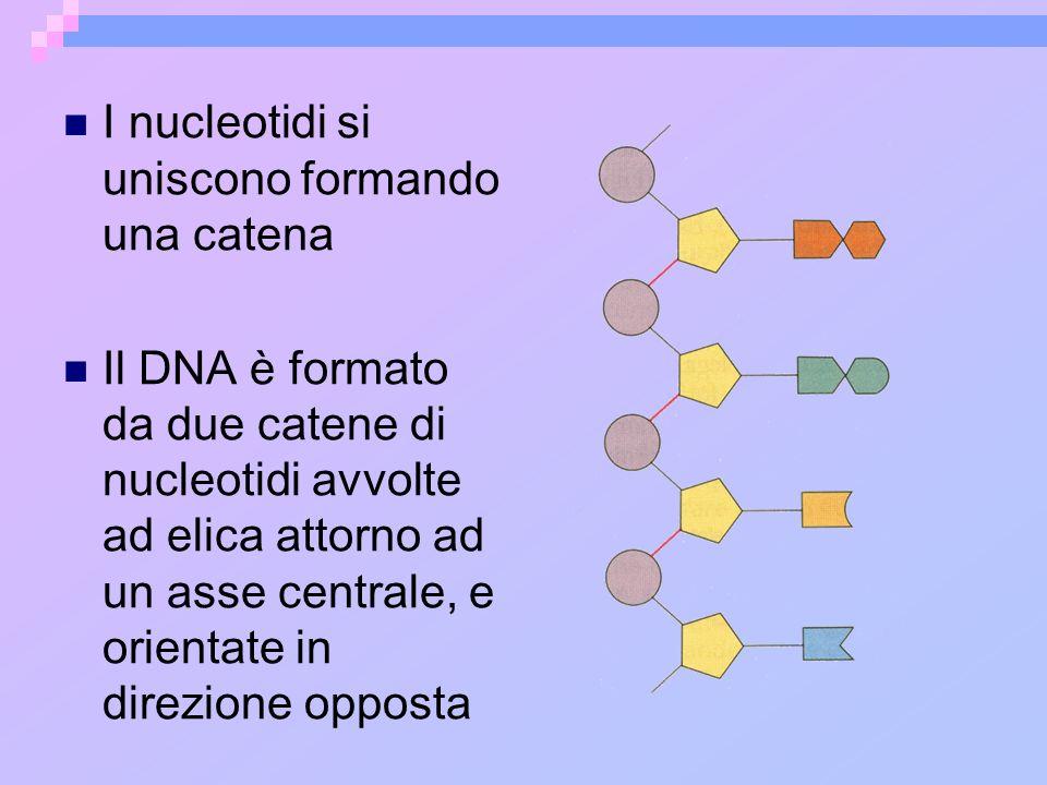 Le due catene di nucleotidi sono unite da legami ad idrogeno che si formano fra le basi puriniche (ADENINA e GUANINA) e pirimidiniche (CITOSINA e TIMINA) Le basi azotate si legano in maniera complementare: lADENINA è accoppiata alla TIMINA e la GUANINA alla CITOSINA