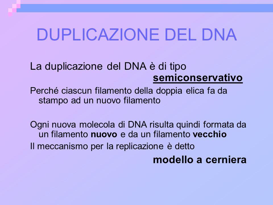 DUPLICAZIONE DEL DNA La duplicazione del DNA è di tipo semiconservativo Perché ciascun filamento della doppia elica fa da stampo ad un nuovo filamento