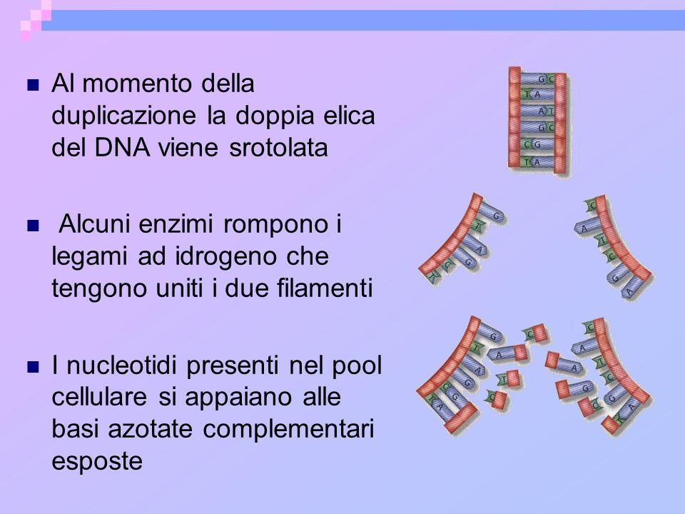Al momento della duplicazione la doppia elica del DNA viene srotolata Alcuni enzimi rompono i legami ad idrogeno che tengono uniti i due filamenti I n
