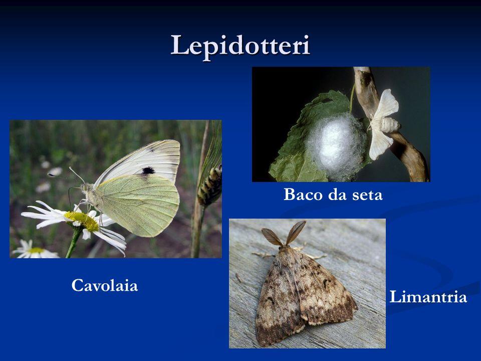 Lo sviluppo di un Lepidottero Durante la propria vita, i Lepidotteri cambiano radicalmente la struttura del corpo e le abitudini alimentari (metamorfosi).