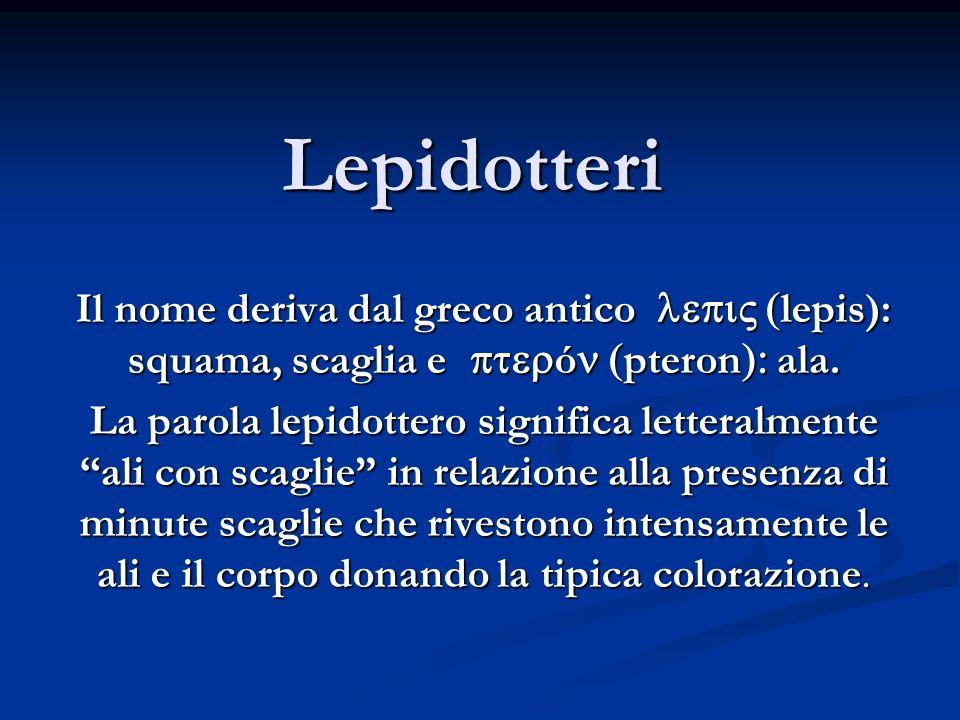 Lepidotteri Il nome deriva dal greco antico lepis): squama, scaglia e ó pteron ala. La parola lepidottero significa letteralmente ali con scaglie in r