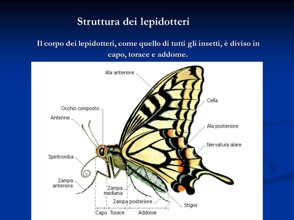 Il corpo dei lepidotteri, come quello di tutti gli insetti, è diviso in capo, torace e addome. Struttura dei lepidotteri