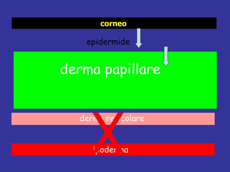 epidermide derma papillare derma reticolare ipoderma corneo X