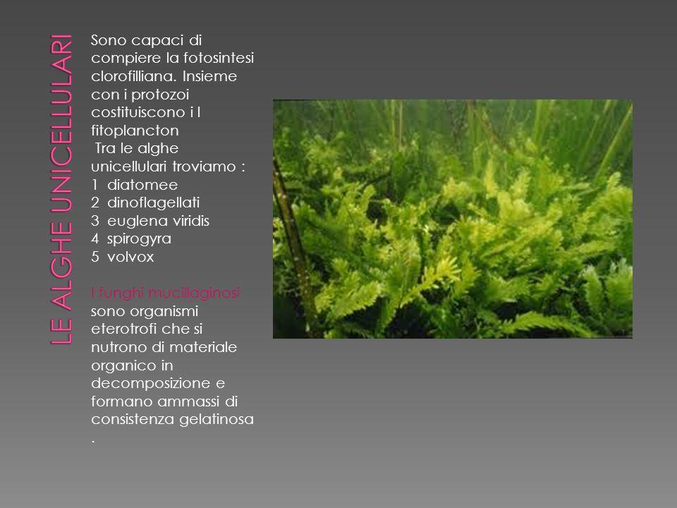 Sono organismi eterotrofi Esistono in forme sia unicellulari sia pluricellulari I funghi possono essere : SAPROFITI PARASSITI SIMBIONTI Una simbiosi di successo : i licheni I licheni sono organismi pionieri
