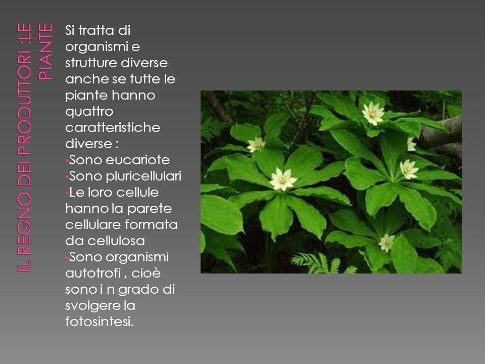 Si tratta di organismi e strutture diverse anche se tutte le piante hanno quattro caratteristiche diverse : Sono eucariote Sono pluricellulari Le loro